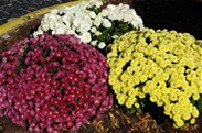 Cross Country Team Sells Mums